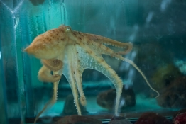 Squid in tank